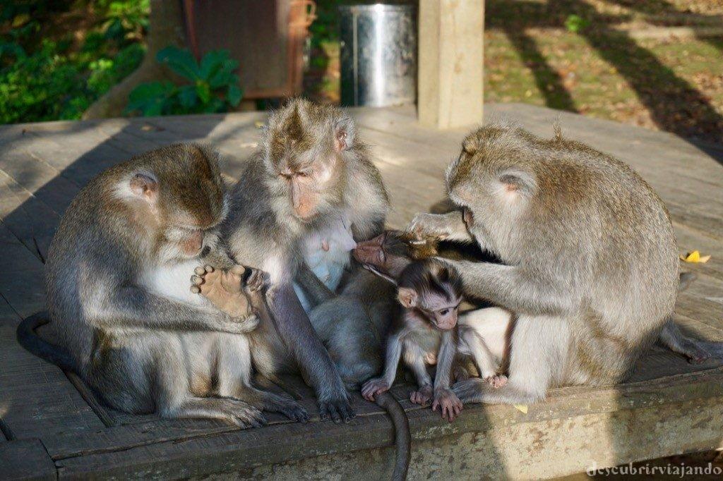Familia monos Ubud Monkey Forest