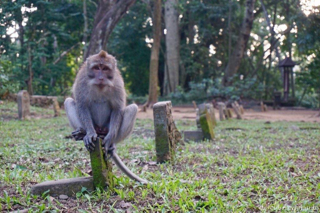 Mono en cementerio Ubud Monkey Forest