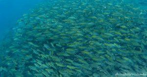 Peces-Tulamben-snorkel
